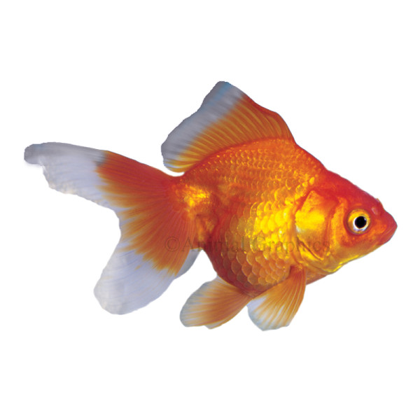 Goldfish Smart Chick Teacher 39 S Blog